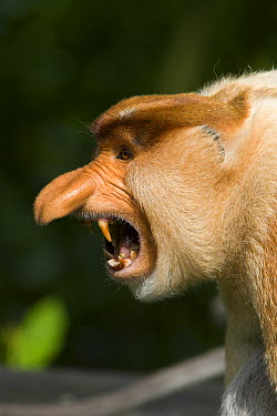 Proboscis Monkey (Nasalis larvatus) dominant male displaying, Sabah, Malaysia  -  Suzi Eszterhas