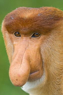 Proboscis Monkey (Nasalis larvatus) male, Sabah, Malaysia  -  Suzi Eszterhas