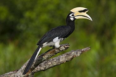 Oriental Pied-Hornbill (Anthracoceros albirostris), Sabah, Malaysia  -  Suzi Eszterhas