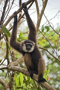 Agile Gibbon (Hylobates agilis) showing long arms, Tanjung Puting National Park, Indonesia  -  Suzi Eszterhas