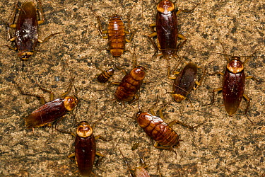 Australian Cockroach (Periplaneta australasiae) group at different developmental stages clustered on cave wall, Gomantong Caves, Sabah, Malaysia  -  Suzi Eszterhas