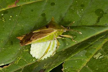 Stink Bug (Pentatomidae) mother with eggs on leaf, Danum Valley Conservation Area, Malaysia  -  Suzi Eszterhas