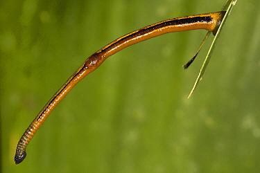 Tiger Leech (Haemadipsa picta), Danum Valley Conservation Area, Malaysia  -  Suzi Eszterhas