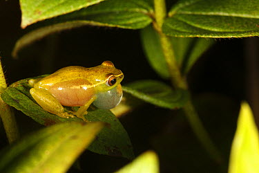 Long-nosed Reed Frog (Hyperolius nasutus) male calling, Bateke Plateau National Park, Gabon  -  Cyril Ruoso