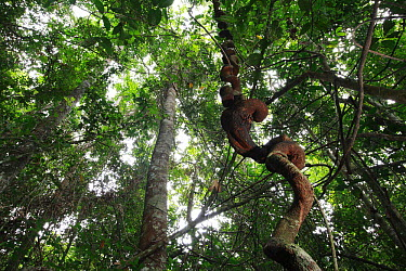 Vine in rainforest, Bateke Plateau National Park, Gabon  -  Cyril Ruoso