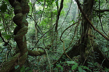 Vines in rainforest, Bateke Plateau National Park, Gabon  -  Cyril Ruoso