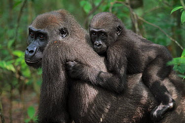 Western Lowland Gorilla (Gorilla gorilla gorilla) reintroduced female with a baby born in the wild, Bateke Plateau National Park, Gabon  -  Cyril Ruoso