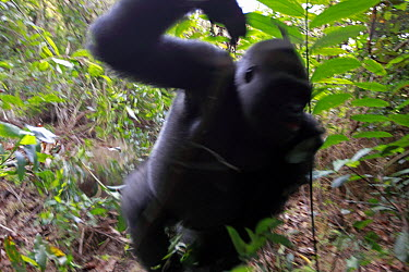 Western Lowland Gorilla (Gorilla gorilla gorilla) fifteen year old silverback charging to protect group, part of reintroduction project by Aspinall Foundation, Bateke Plateau National Park, Gabon. Seq...  -  Cyril Ruoso