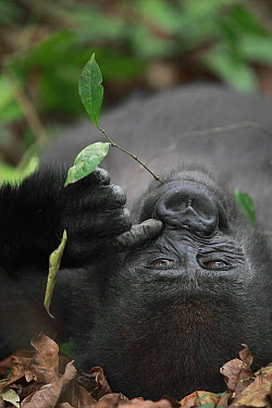 Western Lowland Gorilla (Gorilla gorilla gorilla) five year old orphan scratching nose while chewing on leaf, part of reintroduction project by Aspinall Foundation, Bateke Plateau National Park, Gabon  -  Cyril Ruoso