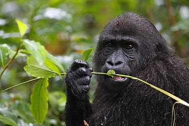 Western Lowland Gorilla (Gorilla gorilla gorilla) five year old orphan feeding on leaf, part of reintroduction project by Aspinall Foundation, Bateke Plateau National Park, Gabon  -  Cyril Ruoso