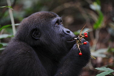 Western Lowland Gorilla (Gorilla gorilla gorilla) five year old orphan eating berries, part of reintroduction project by Aspinall Foundation, Bateke Plateau National Park, Gabon  -  Cyril Ruoso