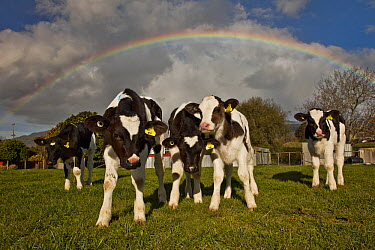 Domestic Cattle (Bos taurus) calves during spring rainshower with rainbow overhead, Takaka, Golden Bay, New Zealand  -  Colin Monteath/ Hedgehog House