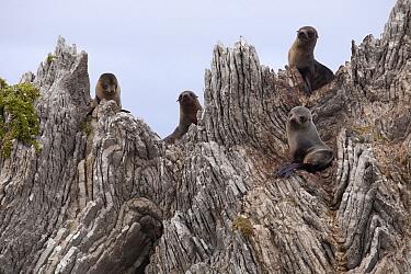 New Zealand Fur Seal (Arctocephalus forsteri) pups on folded limestone layers, Kaikoura, North Canterbury, New Zealand  -  Colin Monteath/ Hedgehog House