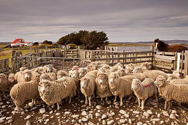 Domestic Sheep (Ovis aries) flock in pen, Falkland Islands  -  Colin Monteath/ Hedgehog House