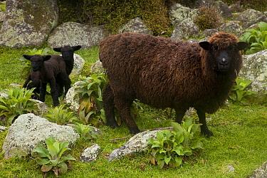 Domestic Sheep (Ovis aries) and twin lambs, Flea Bay, Banks Peninsula, Canterbury, New Zealand  -  Colin Monteath/ Hedgehog House