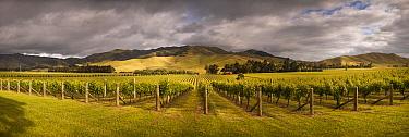 Vineyard in summer, Awatere Valley, Marlborough, New Zealand  -  Colin Monteath/ Hedgehog House