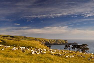 Domestic Sheep (Ovis aries) flock grazing in headland near Otanarito Bay, Banks Peninsula, Canterbury, New Zealand  -  Colin Monteath/ Hedgehog House