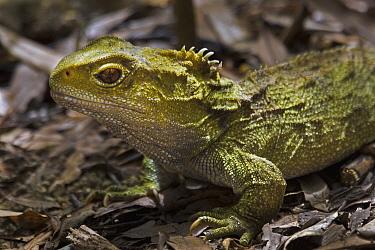 Tuatara (Sphenodon punctatus), Pukaha Mount Bruce Wildlife Centre, Wairarapa, New Zealand  -  Mark Hughes/ Hedgehog House