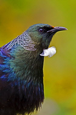Tui (Prosthemadera novaeseelandiae), Karori Wildlife Sanctuary, Wellington, New Zealand  -  Mark Hughes/ Hedgehog House