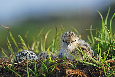 Black-winged Stilt (Himantopus himantopus) newly hatched chick sits on nest with remaining eggs, Christchurch, New Zealand  -  Jonathan Harrod/ Hedgehog House