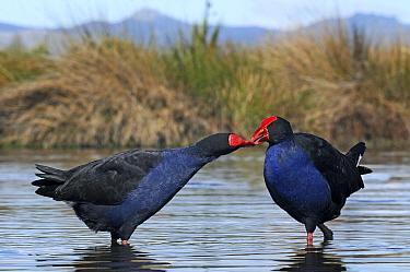 Pukeko (Porphyrio porphyrio melanotus) pair courting, Christchurch, New Zealand  -  Jonathan Harrod/ Hedgehog House