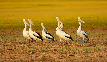 Australian Pelican (Pelecanus conspicillatus) flock in flood plain, Eyre Creek, Birdsville, Queensland, Australia  -  Martin Willis