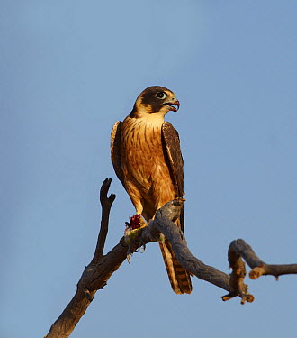 Australian Hobby (Falco longipennis) feeding on Budgerigar (Melopsittacus undulatus), Simpson Desert, Northern Territory, Australia  -  Martin Willis