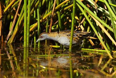 Baillon's Crake (Porzana pusilla) foraging in wetland, Pentland, Queensland, Australia  -  Martin Willis