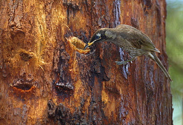 Bridled Honeyeater (Lichenostomus frenatus) feeding on Red Mahogany (Eucalyptus resinifera) sap from cut made by Greater Glider (Petauroides volans), Wondecla, Queensland, Australia  -  Martin Willis