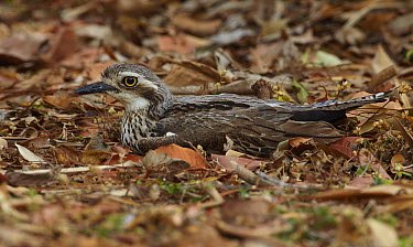 Bush Stone-curlew (Burhinus grallarius) camouflaged in leaf litter, Magnetic Island, Queensland, Australia  -  Martin Willis