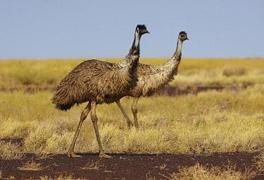 Emu (Dromaius novaehollandiae) pair, Gibber Desert, Diamantina National Park, Queensland, Australia  -  Martin Willis