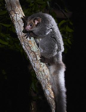 Greater Glider (Petauroides volans) in tree at night, Queensland, Australia  -  Martin Willis