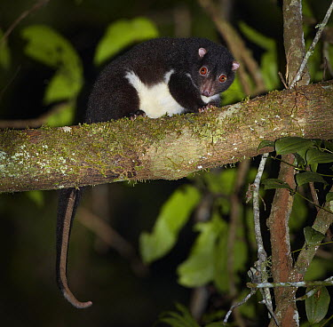 Herbert River Ringtail Possum (Pseudochirulus herbertensis) in tree at night, Mount Hypipamee National Park, Queensland, Australia  -  Martin Willis