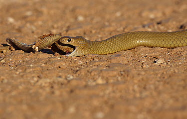 King Brown Snake (Pseudechis australis) feeding on snake, Boulia, Queensland, Australia  -  Martin Willis