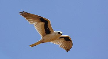 Letter-winged Kite (Elanus scriptus) flying, Diamantina National Park, Queensland, Australia  -  Martin Willis