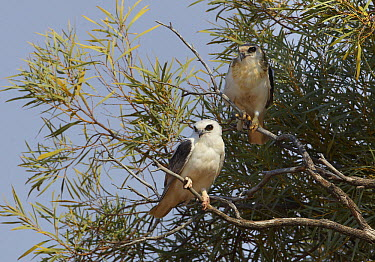 Letter-winged Kite (Elanus scriptus) and juvenile, Diamantina National Park, Queensland, Australia  -  Martin Willis