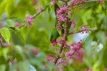 Scaly-breasted Lorikeet (Trichoglossus chlorolepidotus) feeding on Pink Flowered Doughwood (Melicope elleryana) nectar, Townsville, Queensland, Australia  -  Martin Willis