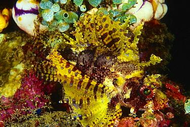 Shortfin Turkeyfish (Dendrochirus brachypterus) camouflaged in reef, Indonesia  -  Chris Newbert