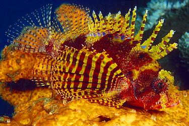 Shortfin Turkeyfish (Dendrochirus brachypterus), Indonesia  -  Chris Newbert