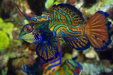 Mandarinfish (Synchiropus splendidus), Indonesia  -  Chris Newbert