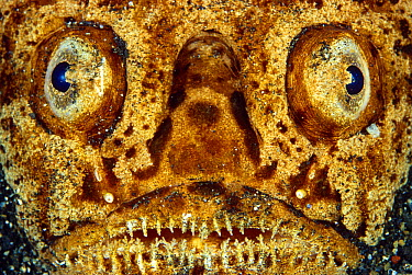 Stargazer (Uranoscopus sp) face showing eyes and teeth, Indonesia  -  Chris Newbert