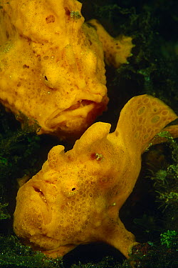 Painted Frogfish (Antennarius pictus) pair, Indonesia  -  Chris Newbert
