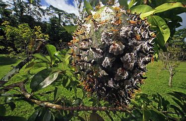 Green Tree Ant (Oecophylla smaragdina) group tending aphids on fruit, Daintree, Queensland, Australia  -  Mark Moffett