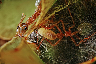 Green Tree Ant (Oecophylla smaragdina) holding silk-producing larva in its jaws and weaving the larva's silk to bind leaves for the colony's treetop nest, Daintree, Queensland, Australia  -  Mark Moffett
