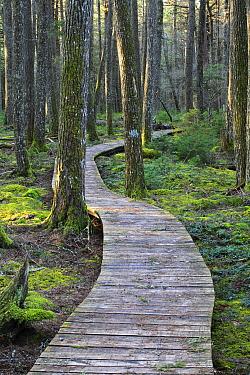 Canadian Hemlock (Tsuga canadensis) grove with boardwalk, Kejimkujik National Park, Nova Scotia, Canada  -  Scott Leslie