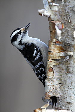Downy Woodpecker (Picoides pubescens), Canada  -  Scott Leslie