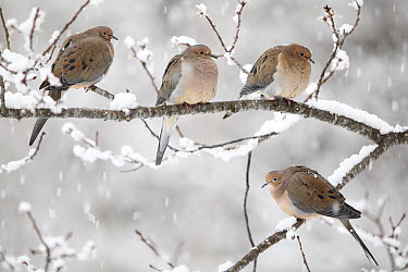 Mourning Dove (Streptopelia decipiens) group in winter, Nova Scotia, Canada  -  Scott Leslie