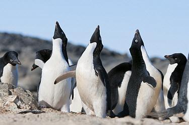 Adelie Penguin (Pygoscelis adeliae) males displaying to claim nest sites, Prydz Bay, eastern Antarctica  -  Tui De Roy