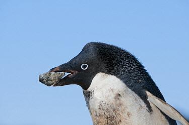 Adelie Penguin (Pygoscelis adeliae) carrying rock back to nest, Prydz Bay, eastern Antarctica  -  Tui De Roy