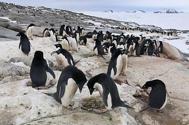 Adelie Penguin (Pygoscelis adeliae) nesting colony recently reoccupied in spring, Prydz Bay, eastern Antarctica  -  Tui De Roy